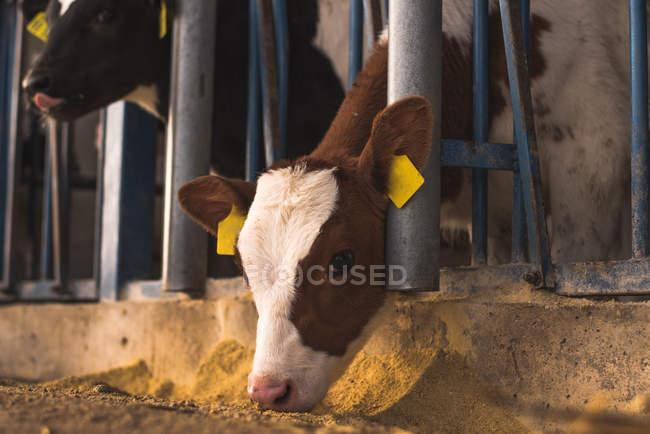 Kalb schaut aus Gehege auf Bauernhof — Stockfoto
