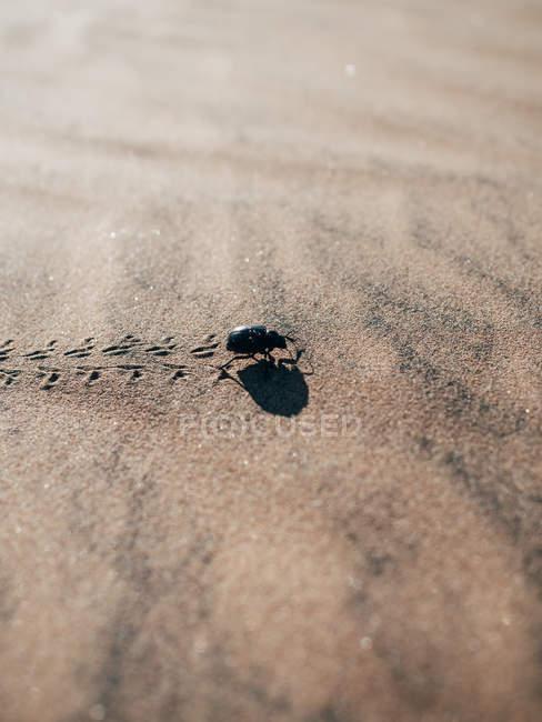 Piccolo bug che cammina sulla sabbia — Foto stock