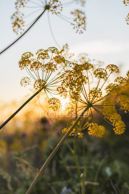 Blooming dill at sunset — Stock Photo