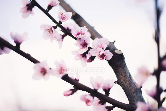Blooming almond tree branch — Stock Photo