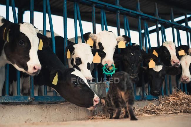 Кішка з телят на фермі — стокове фото