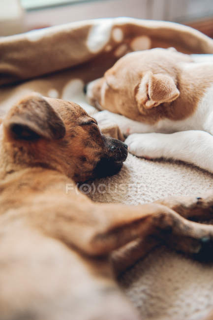 Puppies sleeping together placidly — Stock Photo