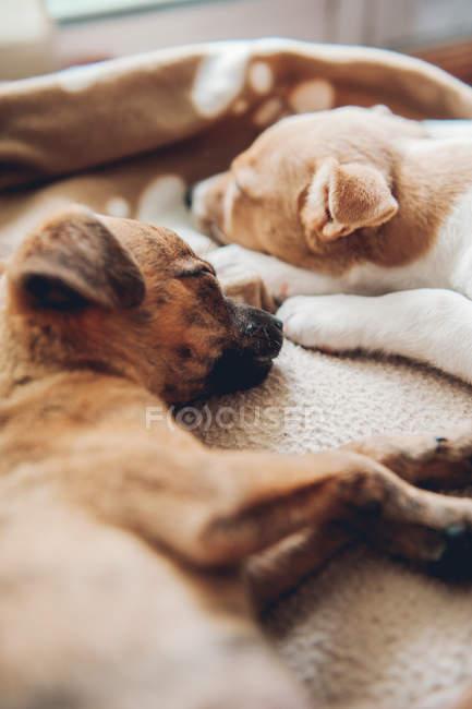 Chiots dormir ensemble placidement — Photo de stock