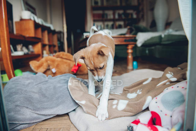 Puppy playing on blanket at home — Stock Photo