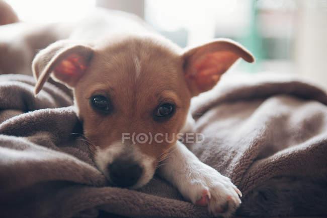 Cucciolo sdraiato sulla coperta — Foto stock