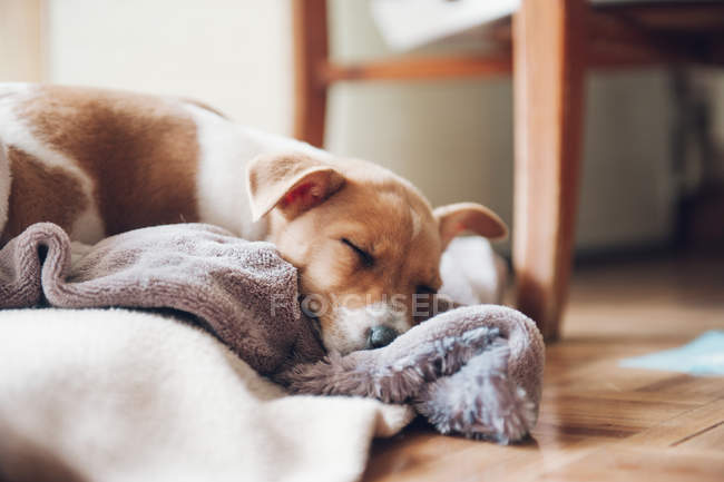 Cute puppy sleeping at home — Stock Photo