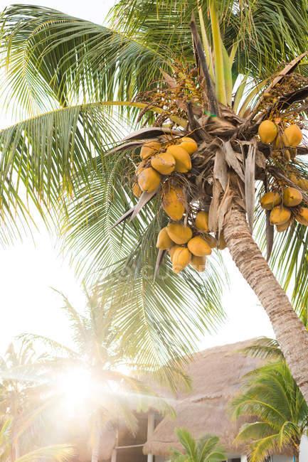 Palma con noci di cocco — Foto stock