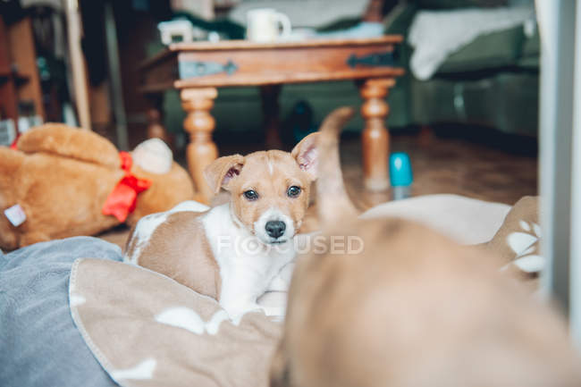 Puppy lying on blanket — Stock Photo