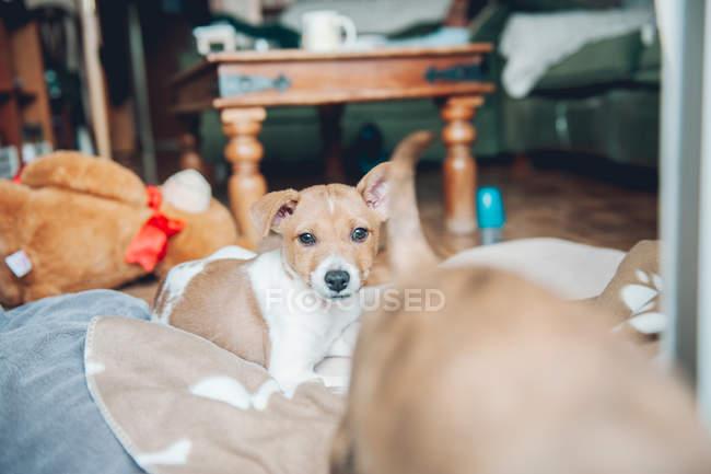 Щенок, лежа на одеяло — стоковое фото