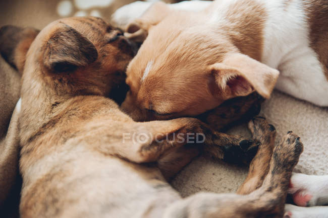 Cute puppies sleeping together — Stock Photo