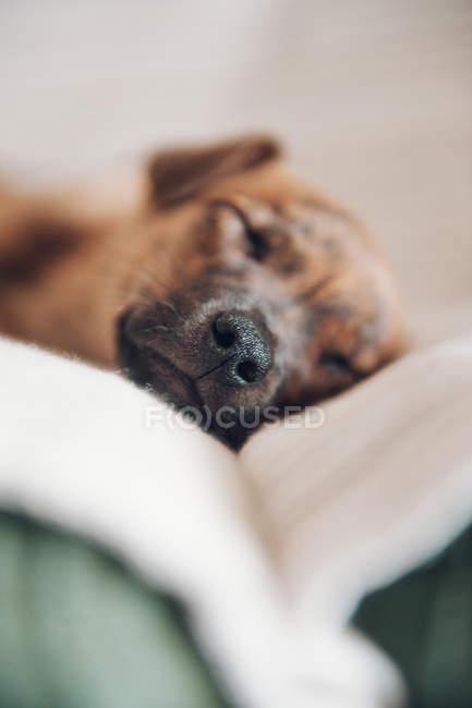 Морда милого спящего щенка — стоковое фото
