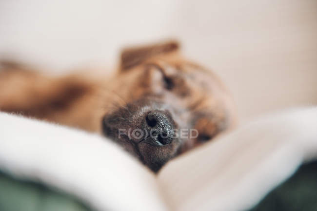 Muzzle of puppy sleeping on couch — Stock Photo