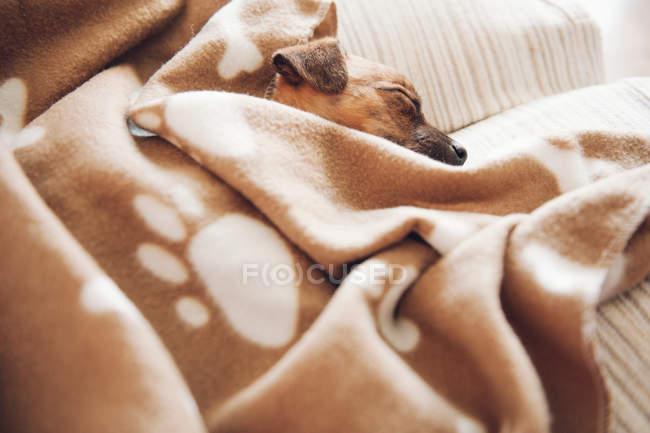 Chiot dormir sur canapé — Photo de stock