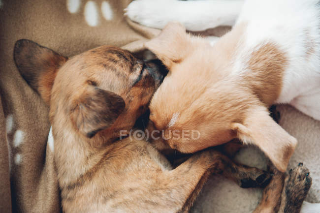 Cute little puppies sleeping together — Stock Photo