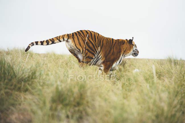 Тигр в зеленой траве в природе — стоковое фото