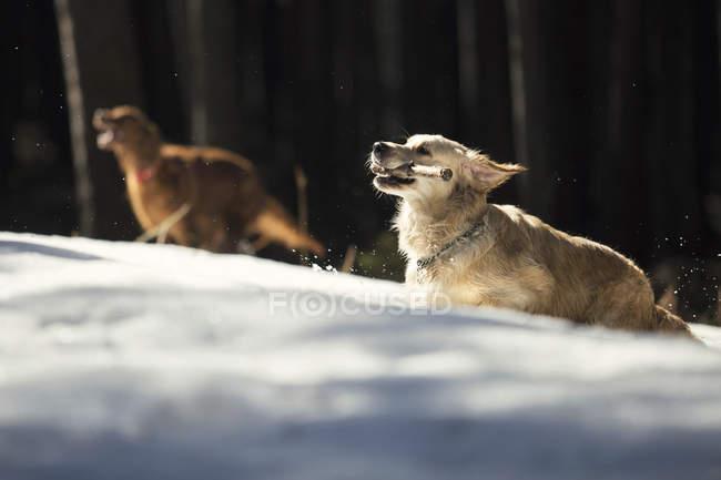 Cucciolo di golden retriever di razza curiosa che funzionano nella sosta — Foto stock