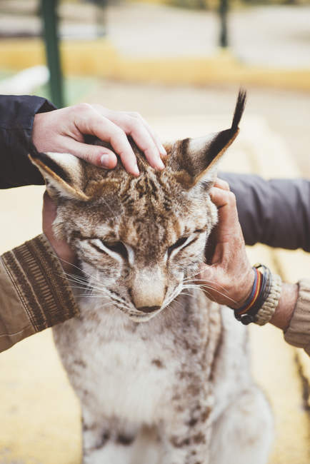 Close-up of male hands stroking lynx — Stock Photo