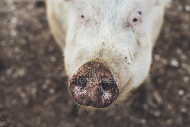 Gros plan sur le museau de cochon sale regardant la caméra — Photo de stock