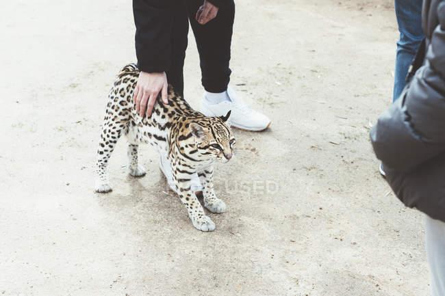 Крупный мужчина, поглаживая рысь в зоопарке — стоковое фото