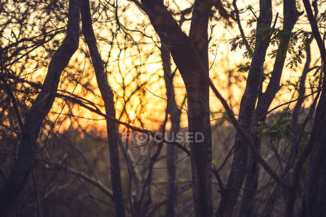 Thin trunks of young trees at sunset — Stock Photo