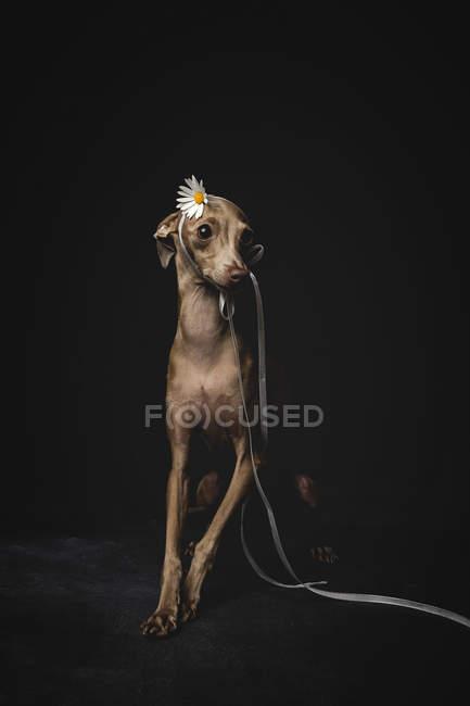 Маленькая итальянская борзая собака, украшенная цветами и лентами, сидящая на черном фоне — стоковое фото