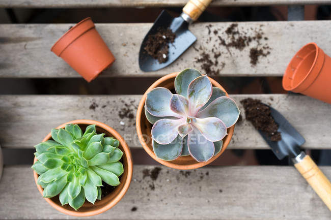Planting blue and green succulents on wooden table — Stock Photo