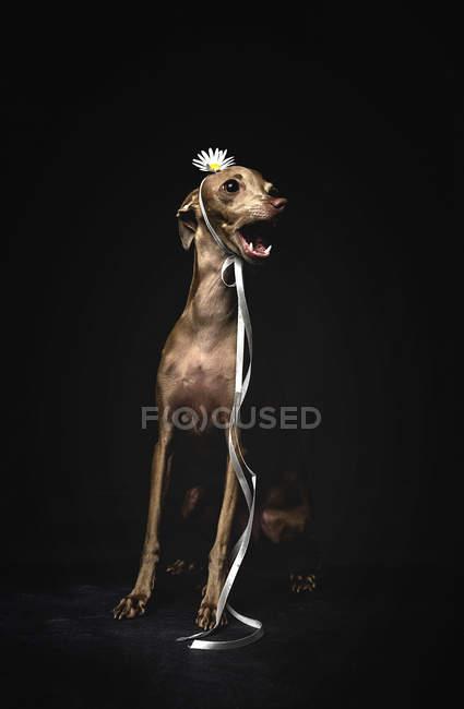 Little italian greyhound dog decorated with flower and ribbon sitting on black background — Stock Photo
