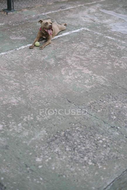 Собака играет в теннис на открытом воздухе — стоковое фото