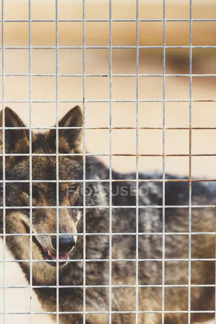 Brauner, flauschiger Wolf steht im Käfig und schaut im Zoo weg — Stockfoto