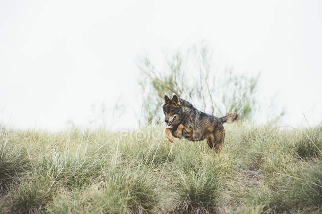 Brauner Wolf springt in Reserve auf grünem Gras — Stockfoto
