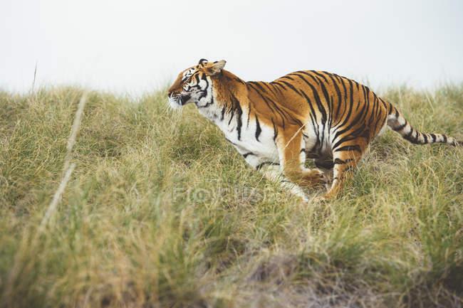 Gestreifter Tiger läuft in Reserve im grünen Gras — Stockfoto