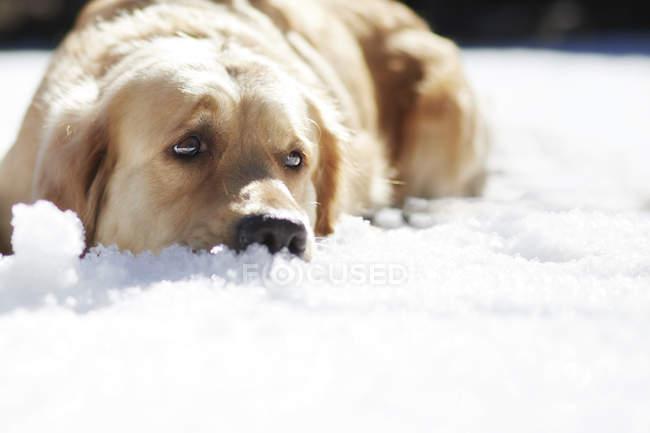 Retriever doré triste, couché dans la neige — Photo de stock