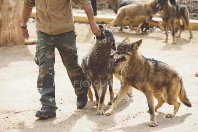 Человек, играя с коричневой волки в зоопарке — стоковое фото