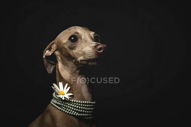 Little italian greyhound dog wearing bead necklace and chamomile flower on black background — Stock Photo