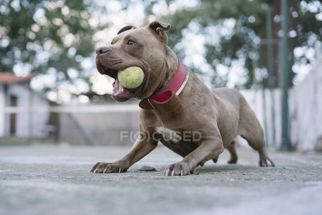 Active pitbull playing with ball outdoors — Stock Photo