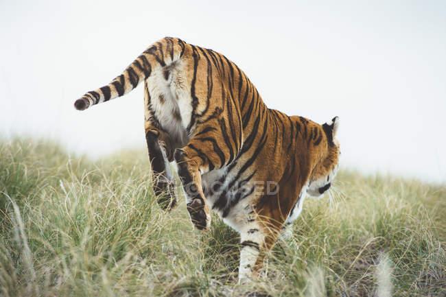 Gestreifter anmutiger Tiger im grünen Gras in der Natur — Stockfoto
