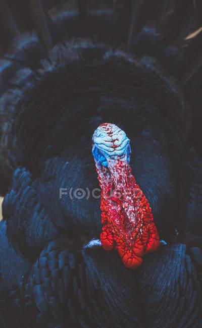 Primer plano de pavo negro emplumado con la cabeza colorida - foto de stock