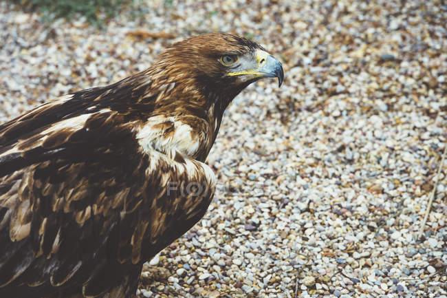 Falke sitzt auf dem Boden und schaut weg — Stockfoto