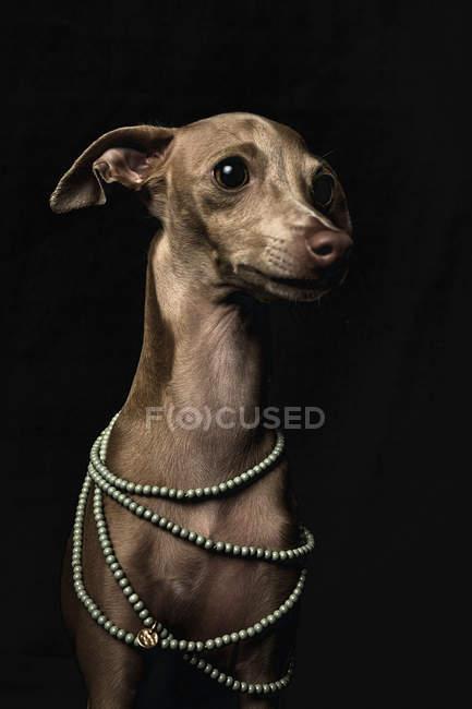 Маленькая итальянская собака Грейхаунд носит бусиновое ожерелье на черном фоне — стоковое фото