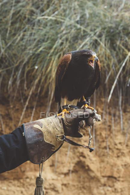 Nahaufnahme eines auf der Hand sitzenden Falken mit Lederhandschuhen — Stockfoto