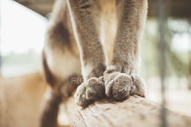 Paws of lynx cat sitting on tree branch in zoo — Stock Photo
