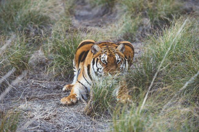 Tigerjagd im grünen Gras in der Natur — Stockfoto