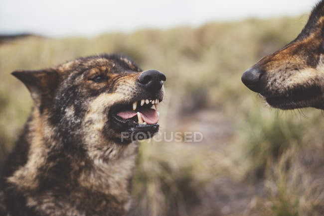 Двох вовків Ревіння один на одного в природі — стокове фото
