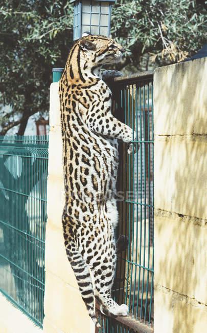 Fleckiger Leopard steht auf Gitter auf Hinterpfoten im Zoo — Stockfoto
