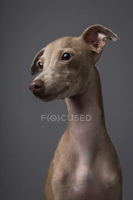 Собака левретка, боком глядя на сером фоне — стоковое фото