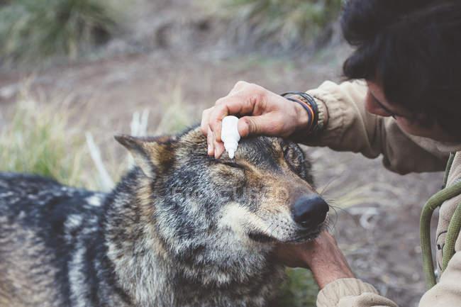 Homme en prenant soin des yeux de loup au zoo — Photo de stock