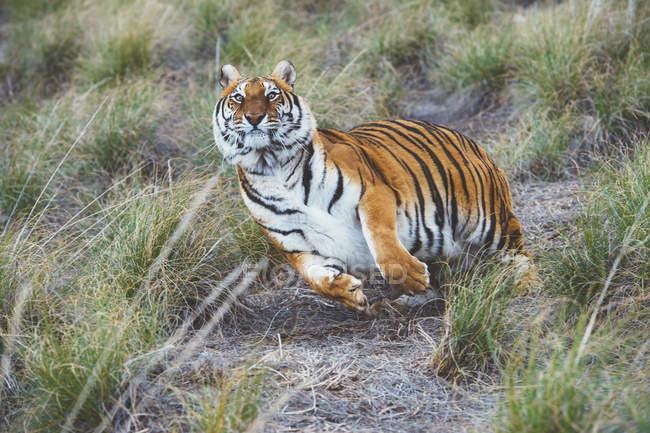 Gestreifter Tiger läuft im grünen Gras in der Natur — Stockfoto