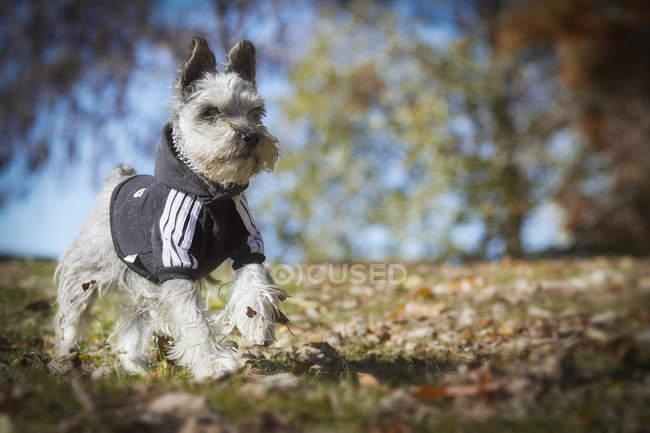 Petit chien en cours d'exécution dans le parc automne — Photo de stock