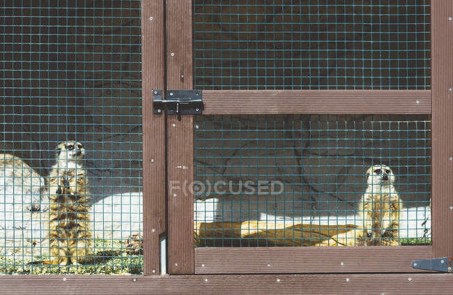 Cute little lemurs standing in cage in zoo in sunny day — стокове фото