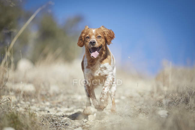 Small dog running in nature with blue sky on background — Stock Photo